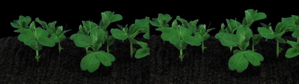 Stereoscopic 3D time-lapse of growing pea vegetables 1az (cross-vision) Footage