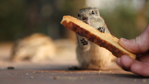 chipmunk Stock Video Footage