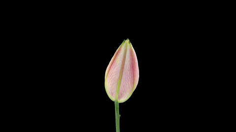 Stereoscopic 3D time-lapse of opening pink lily (left... Stock Video Footage