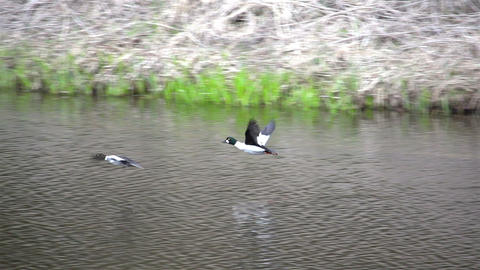 Two fying birds above the river Footage