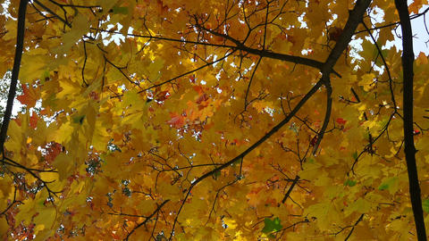 Yellow maple leaves against the blue sky. 4K Footage