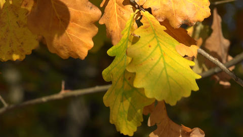 Yellow oak leaves. 4K Footage