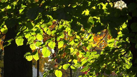 Linden green leaves. 4K Footage