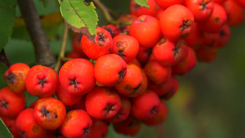 Bunch of red rowan. 4K Footage