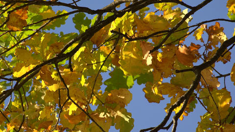 Yellow oak leaves against the blue sky. 4K Footage