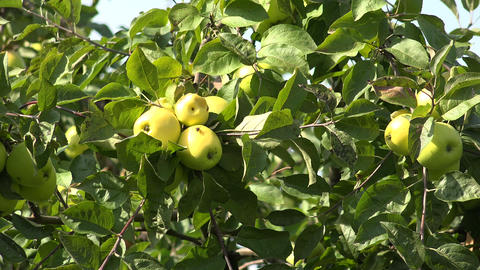 Ripe apples on apple tree branch. 4K Footage