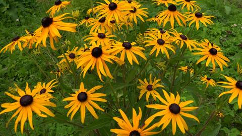 Echinacea. Yellow daisy. 4K Footage