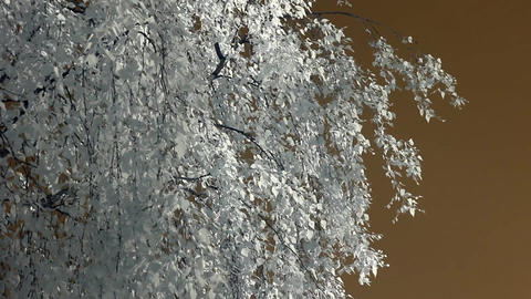 Infrared flora: birch branches in wind 1 Stock Video Footage