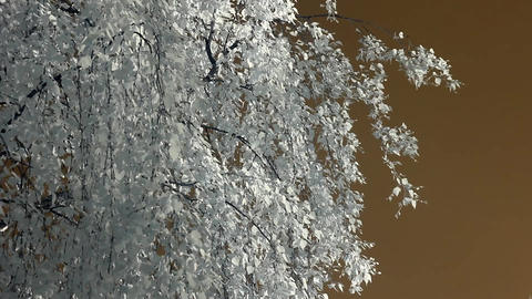 Infrared flora: birch branches in wind 1 Footage