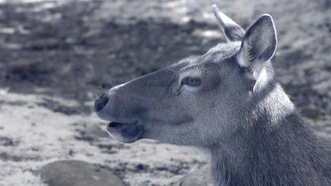 Infrared fauna: female deer chewing grass 1 Stock Video Footage