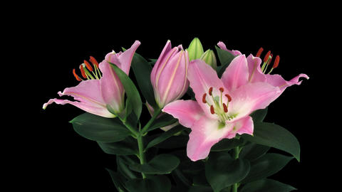 Stereoscopic 3D time-lapse of opening pink lily (left eye) 4a Footage