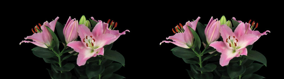 Stereoscopic 3D time-lapse of opening pink lily cross-eye 4az Footage
