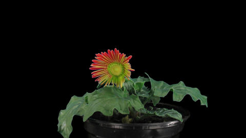 Stereoscopic 3D time-lapse of opening red gerbera (left eye) 1a Footage
