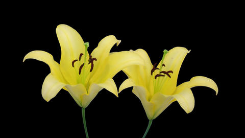 Stereoscopic 3D time-lapse of opening yellow lily (left eye) 2a Footage