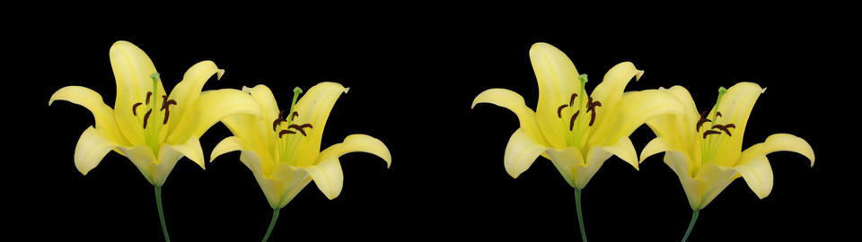 Stereoscopic 3D time-lapse of opening yellow lily (cross-eye) 2az Footage