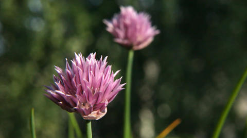 Blossom of onion vegetable 1 Stock Video Footage