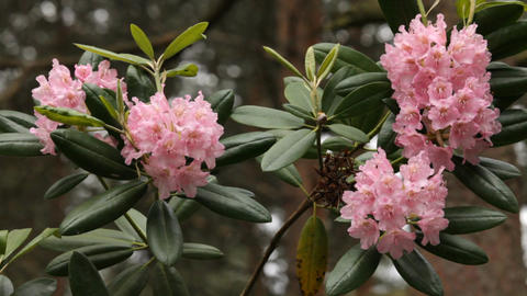 Blooming pink rhododendron (Ericaceae family) plant 1 Footage