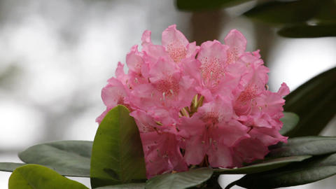 Blooming pink rhododendron (Ericaceae family) plant 3 Footage