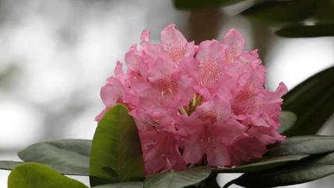 Blooming pink rhododendron (Ericaceae family) plant 3 Stock Video Footage