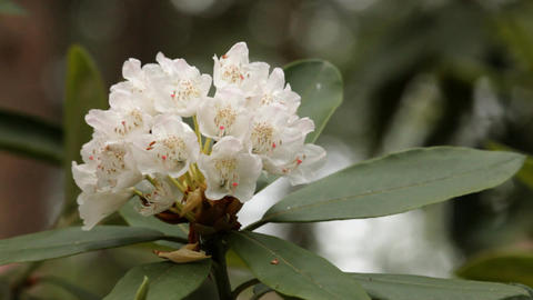 Blooming white rhododendron (Ericaceae family) plant 1 Footage