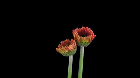 Stereoscopic 3D time-lapse of opening pink gerbera (left-eye) 1a Footage