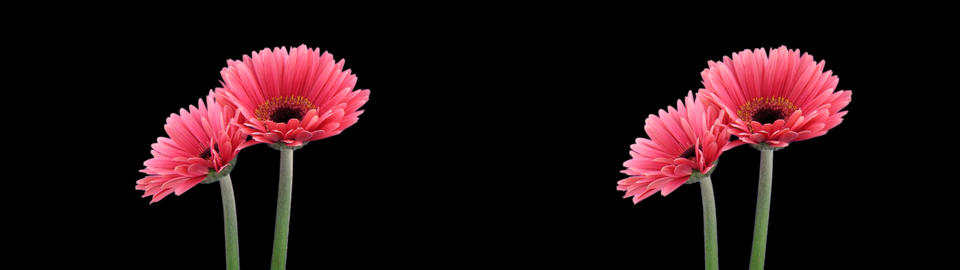 Stereoscopic 3D time-lapse of opening pink gerbera (cross-eye) 1a Live Action