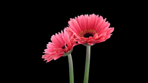s3d gerbera pink 01a right 25fps 15s 100q png Stock Video Footage