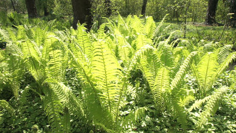 Fern Stock Video Footage