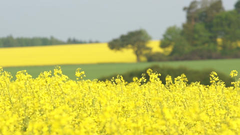 Canola Fields Footage
