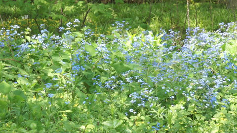 Forget-Me-Nots Stock Video Footage