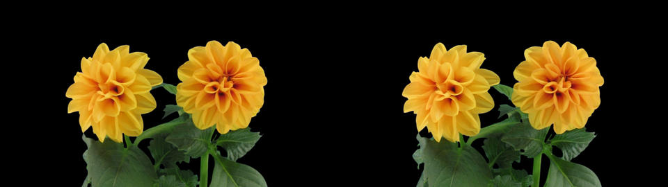 Stereoscopic 3D time-lapse of opening orange dahlia 1ahs (cross-eye) Footage