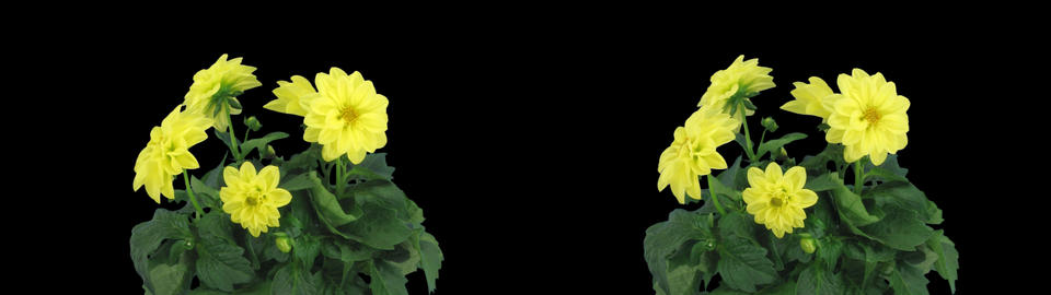 Stereoscopic 3D time-lapse of opening yellow dahlia 1ahs... Stock Video Footage