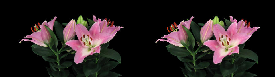 Stereoscopic 3D time-lapse of opening pink lily cross-eye... Stock Video Footage