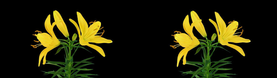 Stereoscopic 3D time-lapse of opening yellow lily... Stock Video Footage