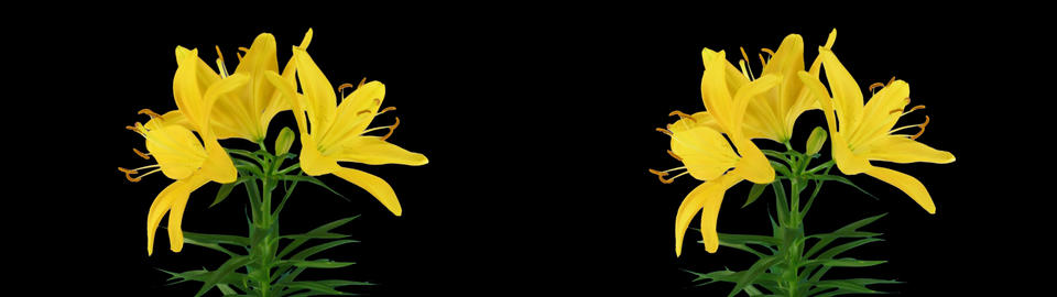 Stereoscopic 3D time-lapse of opening yellow lily cross-eye 1ahs Footage