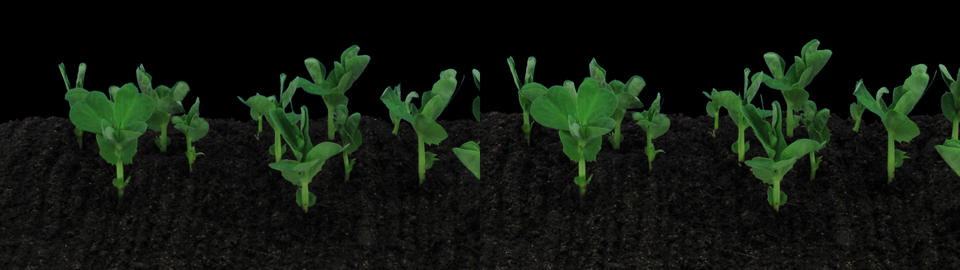 Stereoscopic 3D time-lapse of opening white orchid 1ahs... Stock Video Footage