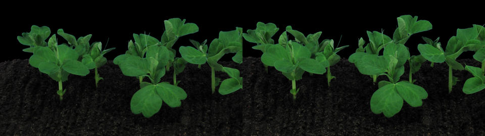 Stereoscopic 3D time-lapse of opening white orchid 1ahs (cross-eye) Footage