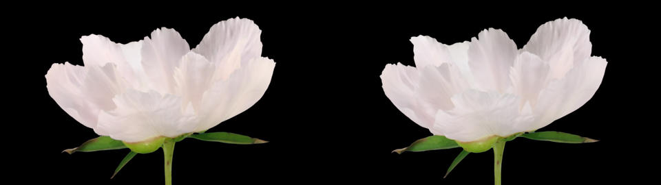 Stereoscopic 3D time-lapse of opening white peony 1hs (cross-eye) Footage