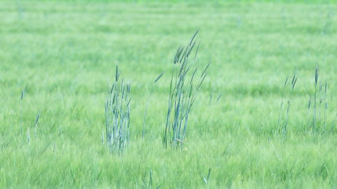Swaying Ceral Stalks Stock Video Footage