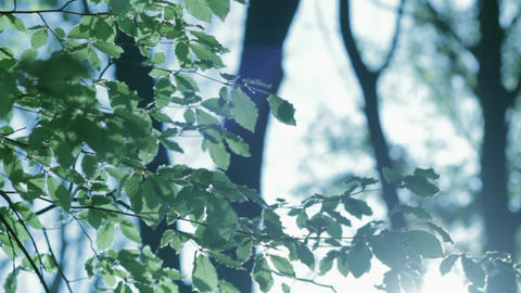 Beautiful Backlit Leaves Stock Video Footage