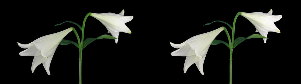 Stereoscopic 3D time-lapse of opening white easter lily cross-eye 1a Footage