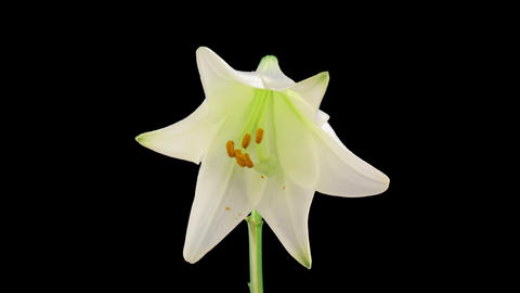 Stereoscopic 3D time-lapse of opening white easter lily (left-eye) 2a Footage