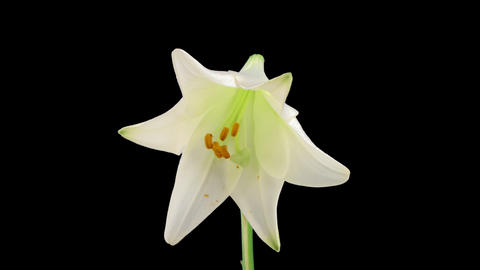 Stereoscopic 3D time-lapse of opening white easter lily (right-eye) 2a Footage