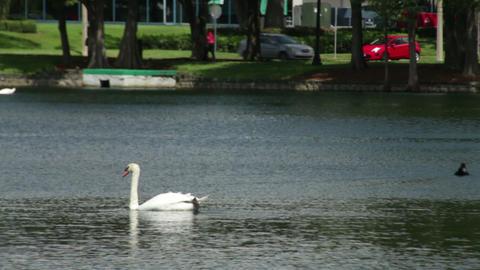 Swans in Lake Eola Park Footage