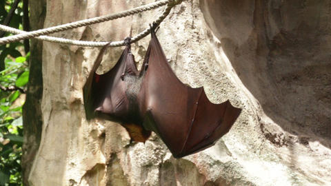 Huge Bat Giant Golden-Crowned Flying Fox Footage