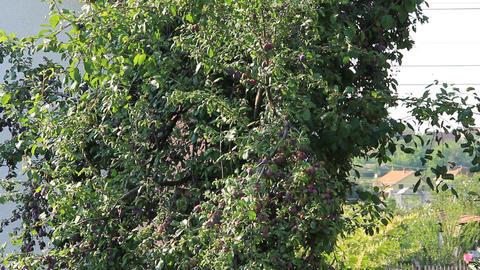 Wild Orange Nightingale On The Plum Full Of Fruits stock footage