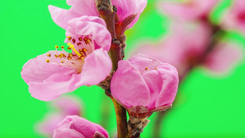 Peach flower blossoming time lapse Footage