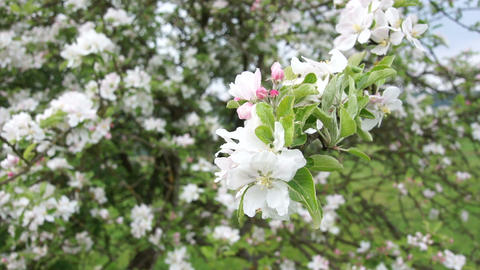 Apple Blossoms Footage