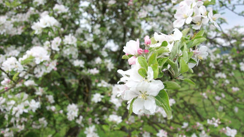 Apple Blossoms Stock Video Footage