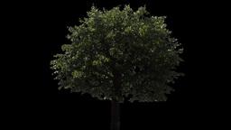 tree 08 Footage